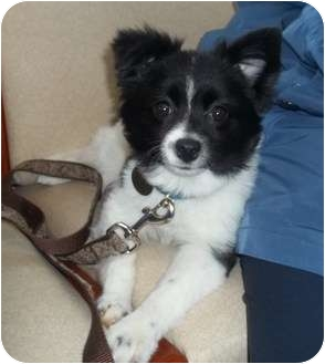 Pomeranian/Papillon Mix Puppy for adoption in Oak Ridge, New Jersey - Storm