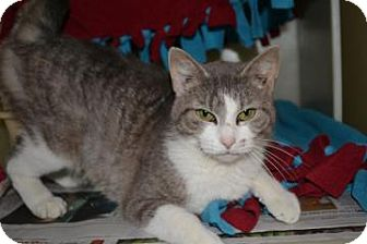 Domestic Shorthair Cat for adoption in Edwardsville, Illinois - Pisces