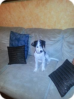 Jack Russell Terrier Puppy for adoption in Houston, Texas - Oreo - Puppy girl in Houston