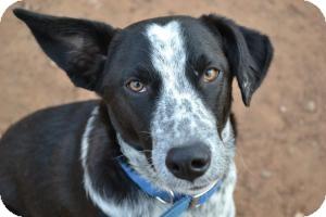 Australian Cattle Dog Mix Dog for adoption in Stillwater, Oklahoma - Poppy