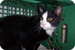 Domestic Shorthair Cat for adoption in Pueblo West, Colorado - Yodi