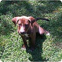 Adopt A Pet :: Brownie - Allentown, PA