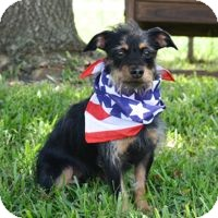 Yorkie, Yorkshire Terrier Mix Dog for adoption in San Leon, Texas - Abby