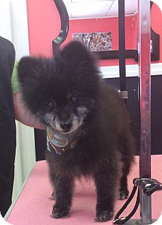 Pomeranian Dog for adoption in Bluemont, Virginia - MICKY
