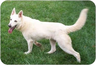 German Shepherd Dog Dog for adoption in Nesbit, Mississippi - Isis