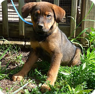 Golden Retriever/German Shepherd Dog Mix Puppy for adoption in Bedminster, New Jersey - Bonner