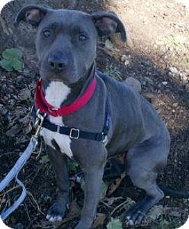 Pit Bull Terrier Dog for adoption in Framingham, Massachusetts - Mia