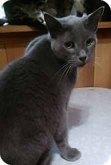 Russian Blue Cat for adoption in Witter, Arkansas - Blue (Russian Blue mix)
