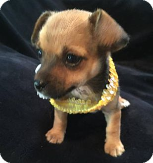 Terrier (Unknown Type, Medium)/Chihuahua Mix Puppy for adoption in South San Francisco, California - Mia