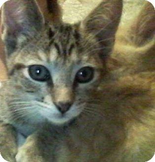Bengal Kitten for adoption in Corona, California - Sneakerz