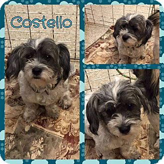 Poodle (Miniature)/Maltese Mix Dog for adoption in New Milford, Connecticut - Costello