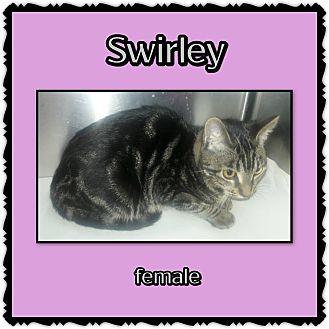 Domestic Mediumhair Cat for adoption in Richmond, California - Swirley