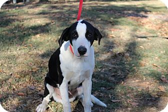 Labrador Retriever/Pointer Mix Dog for adoption in Conway, Arkansas - Duke
