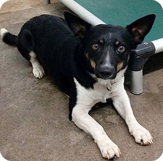 Welsh Corgi Mix Puppy for adoption in Sylacauga, Alabama - AJ