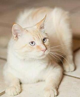 Ragdoll Cat for adoption in Ennis, Texas - Clyde