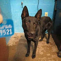 Adopt A Pet :: MIDNIGHT - Olivette, MO