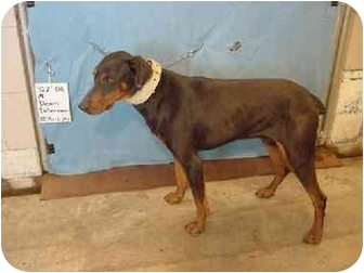 Doberman Pinscher Dog for adoption in Zanesville, Ohio - Dean/Rescued!