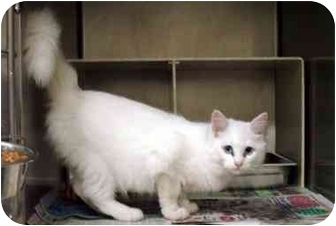 Domestic Longhair Cat for adoption in Albany, Georgia - Angel