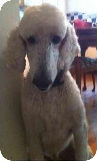 Standard Poodle Dog for adoption in Melbourne, Florida - BIJOUX