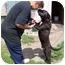 Photo 4 - Boston Terrier/German Shepherd Dog Mix Dog for adoption in Sumner, Iowa - Lucky