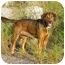 Photo 2 - Bloodhound/Coonhound (Unknown Type) Mix Dog for adoption in Austin, Minnesota - Emmitt
