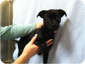 Chihuahua Mix Puppy for adoption in Baltimore, Maryland - Bugsy(adoption pending)