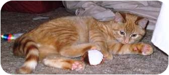 Domestic Shorthair Kitten for adoption in Warren, Ohio - Oscar - Pending
