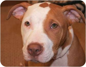 American Pit Bull Terrier Mix Puppy for adoption in Reisterstown, Maryland - Nikko