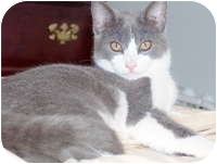 Domestic Shorthair Cat for adoption in Tampa, Florida - Kate