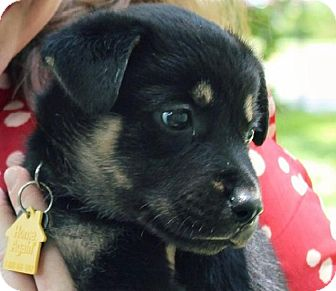 Shepherd (Unknown Type) Mix Puppy for adoption in Austin, Texas - Butters