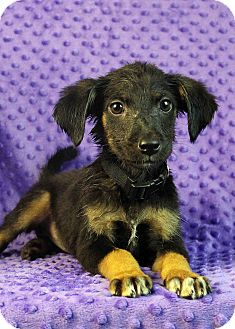 Sheltie, Shetland Sheepdog Mix Puppy for adoption in Westminster, Colorado - Muffin