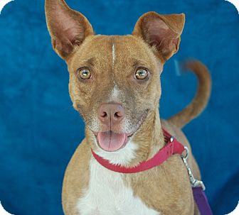 Chihuahua Mix Dog for adoption in Bradenton, Florida - Tippen