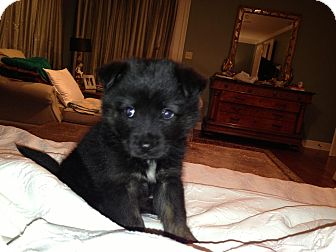 Shepherd (Unknown Type)/Keeshond Mix Puppy for adoption in Waterbury, Connecticut - SOPHIE
