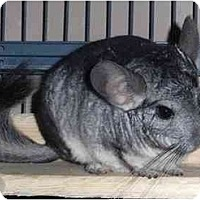 Adopt A Pet :: Weebles - Virginia Beach, VA