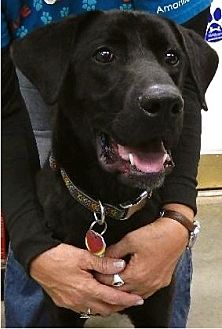Labrador Retriever Mix Dog for adoption in Amarillo, Texas - Zoey
