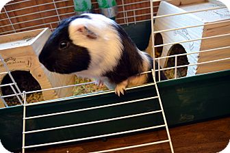 Guinea Pig for adoption in Broadway, New Jersey - Magnus