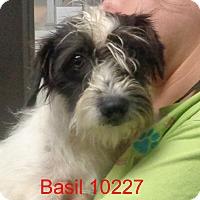 Adopt A Pet :: Basil - Greencastle, NC