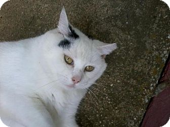 Domestic Mediumhair Cat for adoption in Baltimore, Maryland - Angel