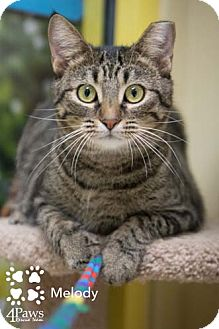 Domestic Shorthair Cat for adoption in Merrifield, Virginia - Melody