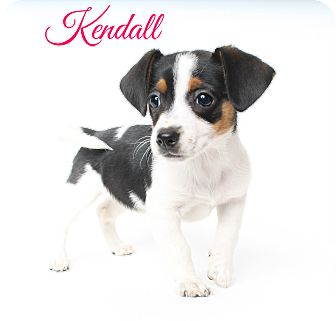 Dachshund/Rat Terrier Mix Puppy for adoption in Metairie, Louisiana - Kendall - Adoption Pending
