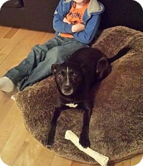 American Pit Bull Terrier Mix Dog for adoption in Edmonton, Alberta - Roxy