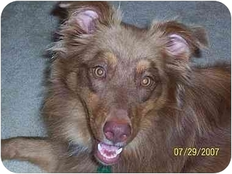 Australian Shepherd Dog for adoption in Overland Park, Kansas - Brown Sugar