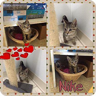 Domestic Shorthair Kitten for adoption in Bryan, Ohio - nike