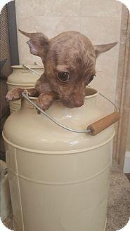 Chihuahua Mix Puppy for adoption in Valencia, California - Rafferty
