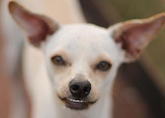 Whippet/Chihuahua Mix Dog for adoption in San Antonio, Texas - MONA
