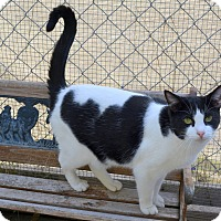 Domestic Shorthair Cat for adoption in Jurupa Valley, California - Amethyst