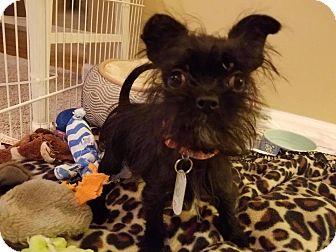 Brussels Griffon Puppy for adoption in Sugar Grove, Illinois - Cinderella