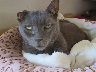 Russian Blue Cat for adoption in Coos Bay, Oregon - Sandee