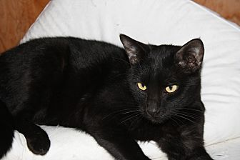 Bombay Cat for adoption in Rawlins, Wyoming - Sawyer