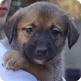 Shepherd (Unknown Type)/Australian Cattle Dog Mix Puppy for adoption in West Nyack, New York - Zuma
